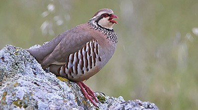 red legged partridge on rock